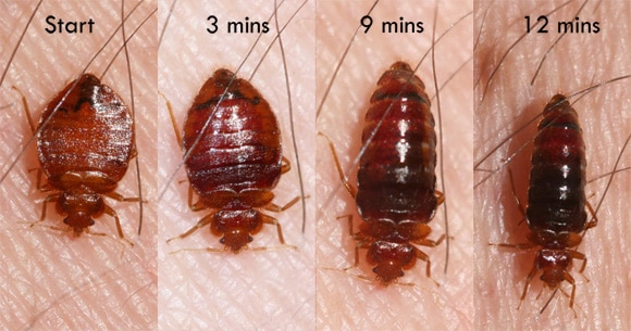 Image showing how a bed bug changes as it feeds